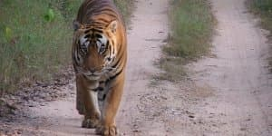 Freelander to join hands in saving Tigers!